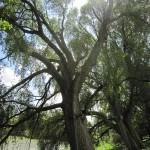 Dies Bäume sind